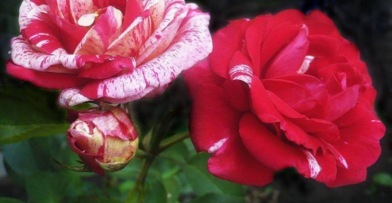 Канадские розы: фото и описание лучших сортов